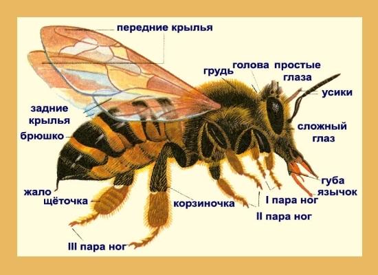 Жало пчелы: где находится, как жалит, строение, функции, первая помощь после укуса