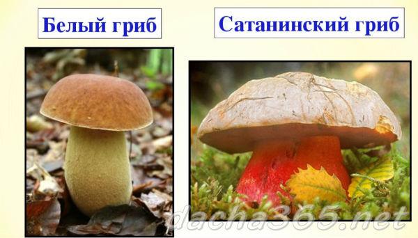 Сатанинский гриб: описание, фото, съедобность, где растет, польза и вред, признаки отравления