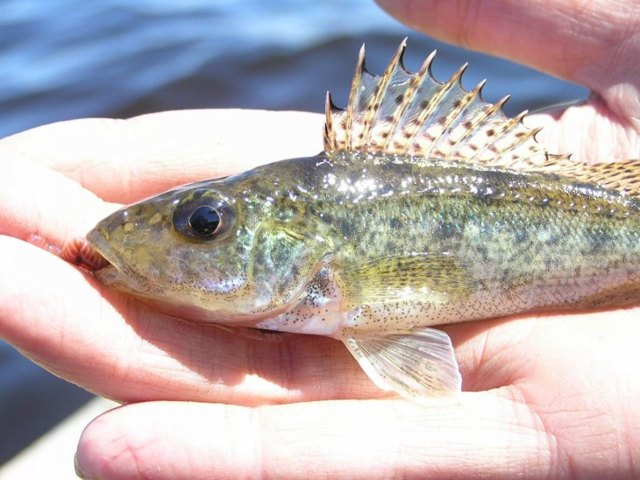 Ерш обыкновенный: описание, фото рыбы, места обитания, ловля и разведение рыбы