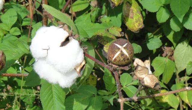 Хлопок: описание, посадка, выращивание, уход за хлопчатником