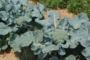 Капуста брокколи: описание, сорта, выращивание, сбор урожая