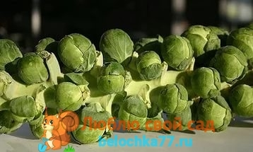Брюссельская капуста: описание, сорта, фото, особенности выращивания