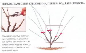 Обрезка крыжовника весной: сорки, правила, способы и полезные советы