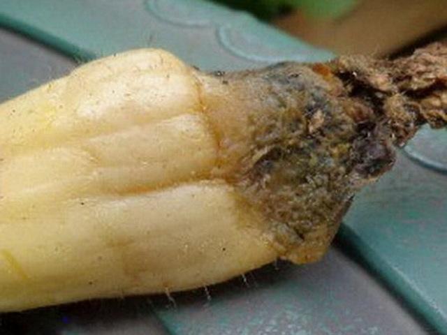 Болезни и вредители кабачков: описание, признаки, лечение, профилактика