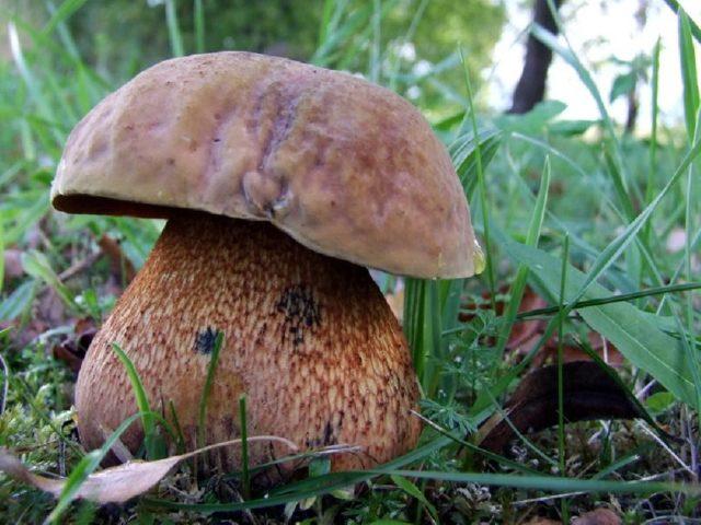 Гриб дубовик обыкновенный (поддубовик): описание, фото, места произрастания гриба, виды
