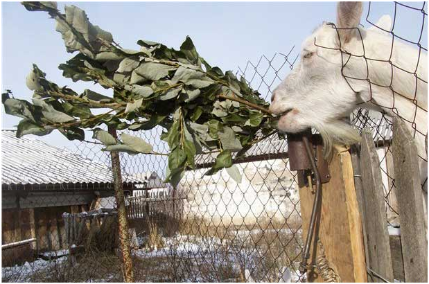 Что едят козы? Какой корм и в каком количестве давать козам?