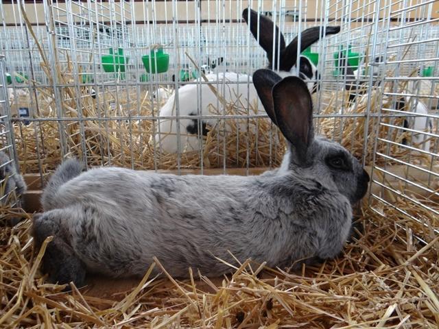Кролик Серебристый: описание, фото, правила содержания, кормления, разведения