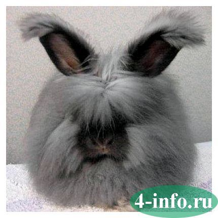 Голландский кролик: описание, фото, содержание и уход, отзывы