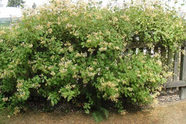 Жимолость Нимфа: описание сорта, фото, плюсы и минусы, посадка, выращивание и уход