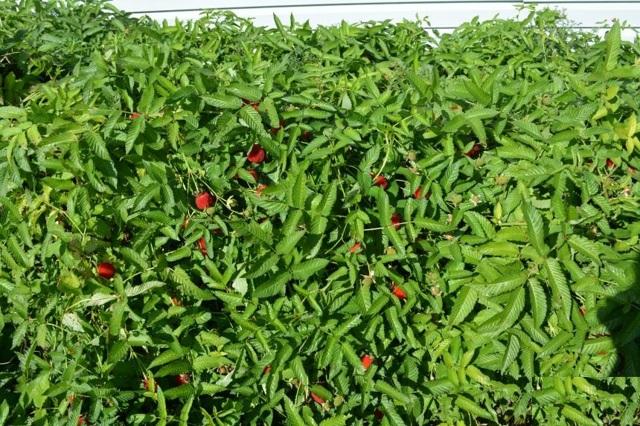 Тибетская (розолистная) малина: характеристики сорта, фото, выращивание и уход, отзывы
