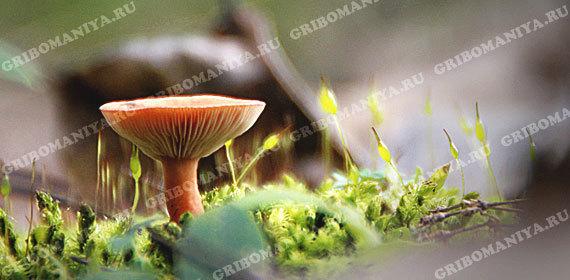 Условно-съедобные грибы: трубчатые, пластинчатые, сумчатые, неопределенные