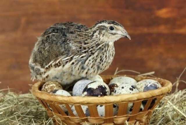 Когда начинают нестись перепёлки, сколько дают яиц и как повысить яйценоскость?