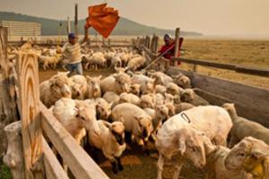 Баз для овец
