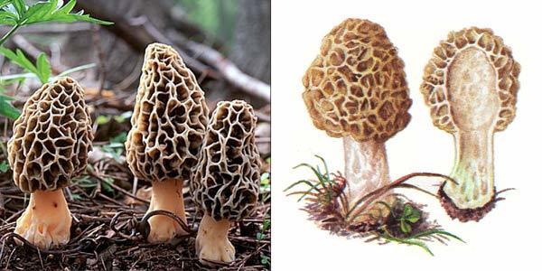 Гриб Сморчок: описание, виды, съедобен или нет, где растет, можно ли вырастить?