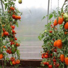 Томат Скороспелка: описание сорта, характеристики, фото, посадка, уход, сбор урожая