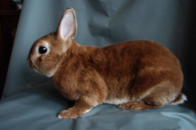 Кролик Рекс: описание породы с фото, содержание, разведение, плюсы и минусы