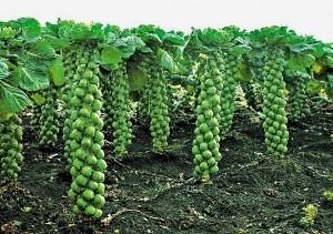 Виды капусты: описание, фото, достоинства, недостатки, выращивание