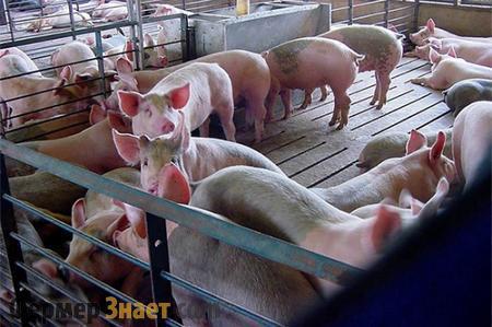 Рожа у свиней: возбудитель, пути заражения, симптомы, лечение, вакцина