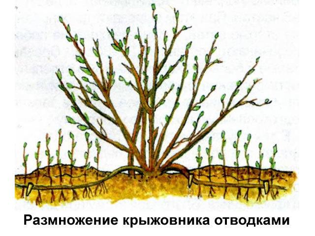 Крыжовник Краснославянский: описание сорта, его характеристики, фото, отзывы и правила выращивания