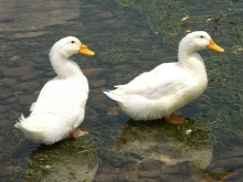 Благоварская утка: описание породы, фото, содержание, плюсы и минусы, отзывы