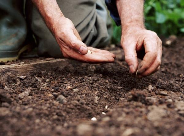 Огурец Феникс: описание сорта, правила выращивания, плюсы и минусы, отзывы
