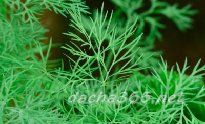 Сорта укропа с фото и описанием: раннеспелые, среднеспелые и позднеспелые