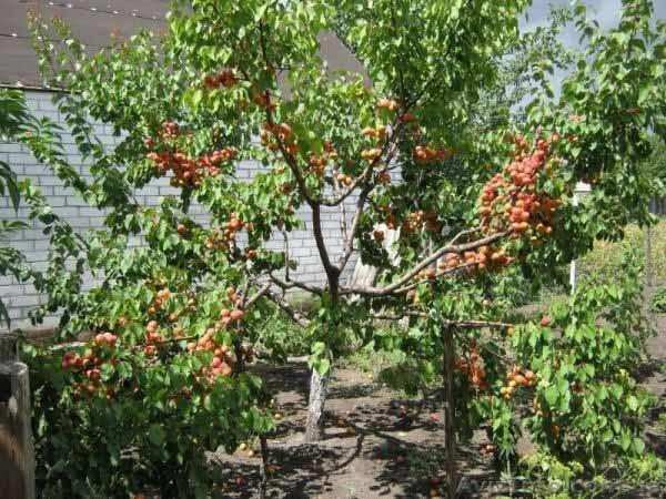 Посадка абрикоса весной: сроки, пошаговые инструкции и правила