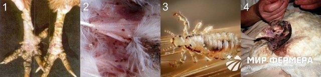 Болезни фазанов и их лечение: инфекционные, незаразные, паразиты, гиповитаминоз