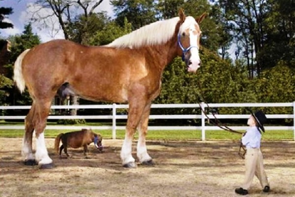 Самые большие лошади в мире: описание с фото. Отдельные рекордсмены-гиганты