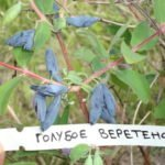 Жимолость Золушка: описание сорта, фото, выращивание, отзывы садоводов