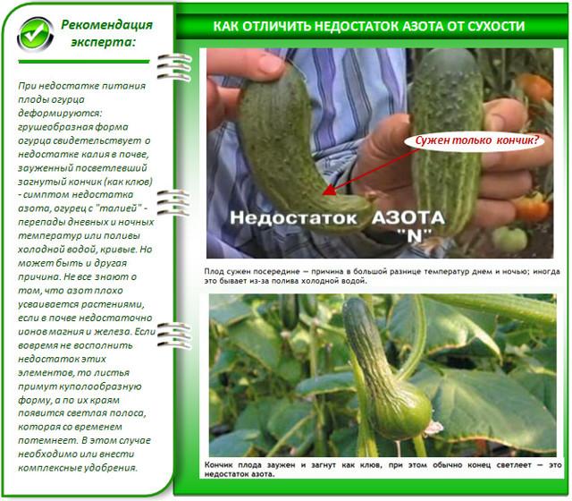 Подкормка огурцов в теплице: виды удобрений, сроки, количество, дефицит и избыток прикорма