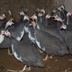 Обыкновенная цесарка: описание характеристик, фото, содержание и уход, разведение цыплят