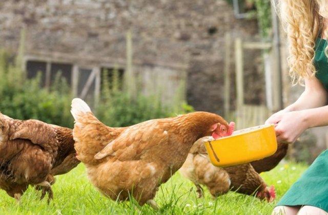 Пастереллез (Холера) у кур: причины, симптомы, лечение и профилактика