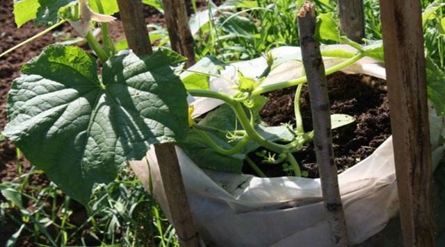 Выращивание огурцов в мешках: особенности, инструкции, агротехника и сбор урожая