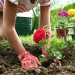 Горох посевной: описание, сорта, фото, выращивание, сбор и хранение