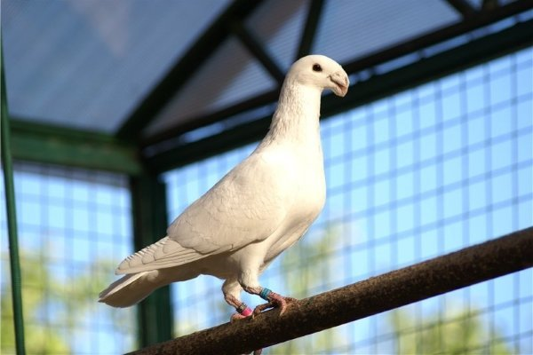 Немецкие выставочные голуби: фото и характеристики породы