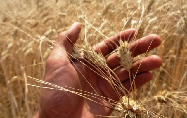Сорта и виды пшеницы: озимая, яровая, мягкая, твердая, новинки селекции, для регионов