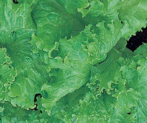 Сорта салата: листовые, кочанные, раннеспелые, без горечи и пр.