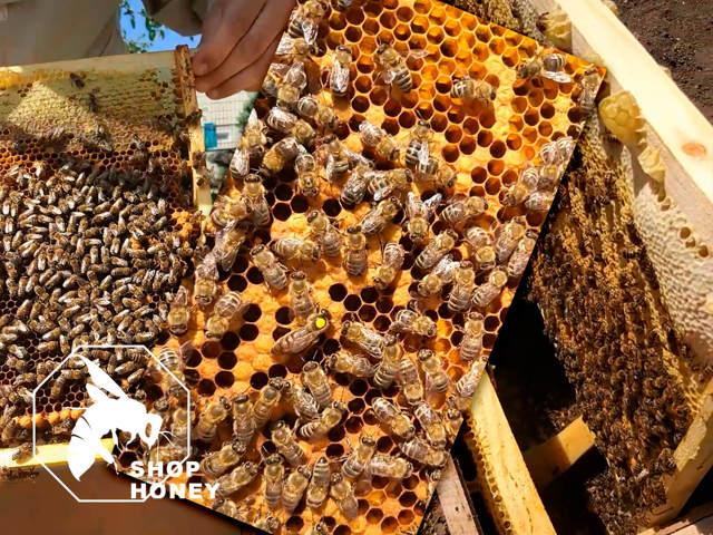 Пчелопакеты: формирование, отличие от пчелосемьи, виды, пересадка в улей