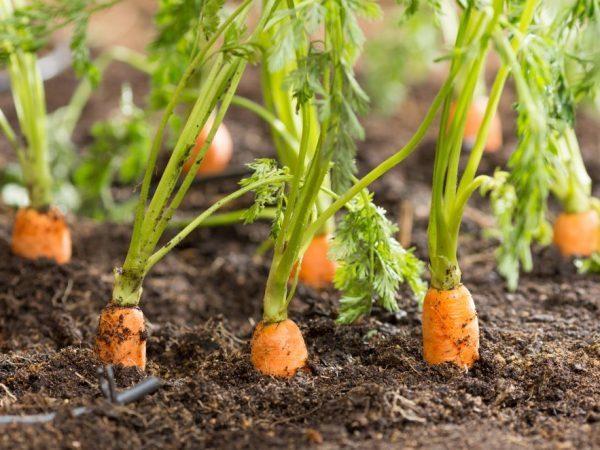 Посадка моркови осенью под зиму: сроки, подготовка грунта, посев семян