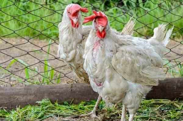 Алопеция у кур: почему куры лысеют и что делать?