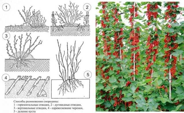 размножение смородины в картинках и борьба с ними зависимости объема подберем