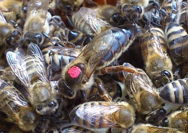 Вывод пчелиных маток: правила, способы, сроки