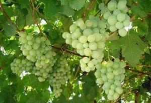Виноград Талисман: описание сорта, фото, правила выращивания и ухода, отзывы