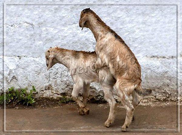Нубийские козы: описание с фото, продуктивность, содержание и разведение
