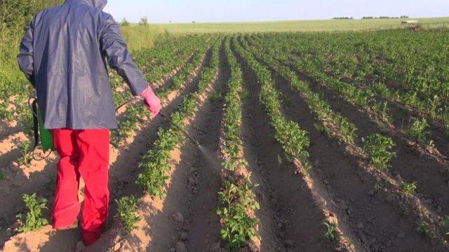 Картофель Гала: описание сорта, фото, выращивание, отзывы