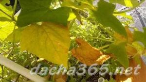 Почему желтеют листья у огурцов и что делать? Обзор причин и методов лечения