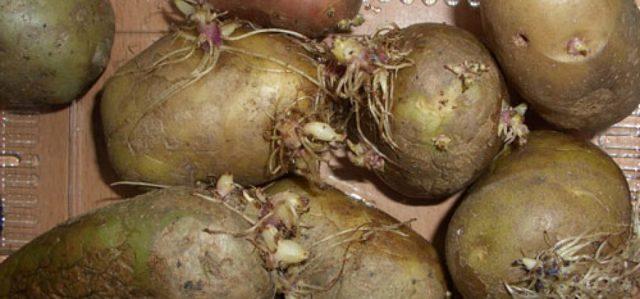 Посадка картофеля в Подмосковье: время, сорта, способы посадки, ухода и сбора урожая