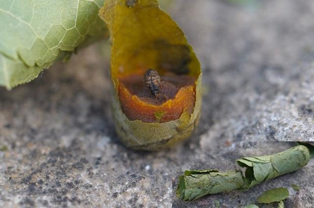 Пчела-листорез: описание, как определить появление, польза или вред, методы защиты растений