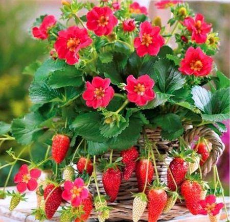 Ампельная клубника: описание, уход и выращивание, лучшие сорта